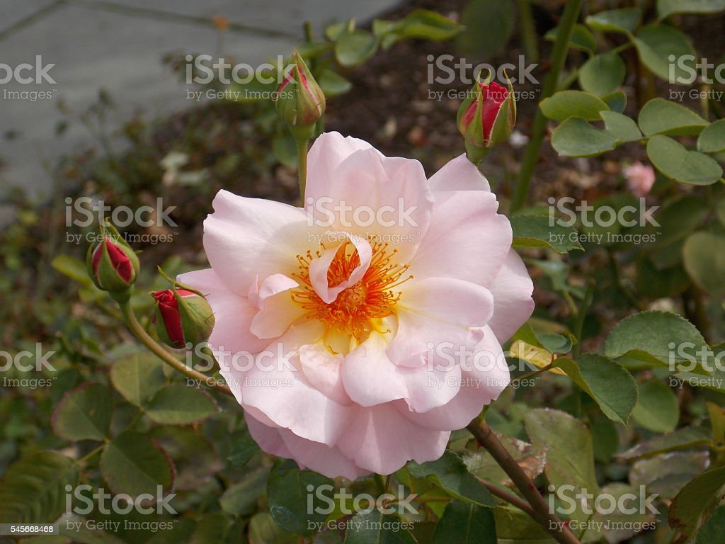 Perfect Light Pink Rose and Red Buds stock photo