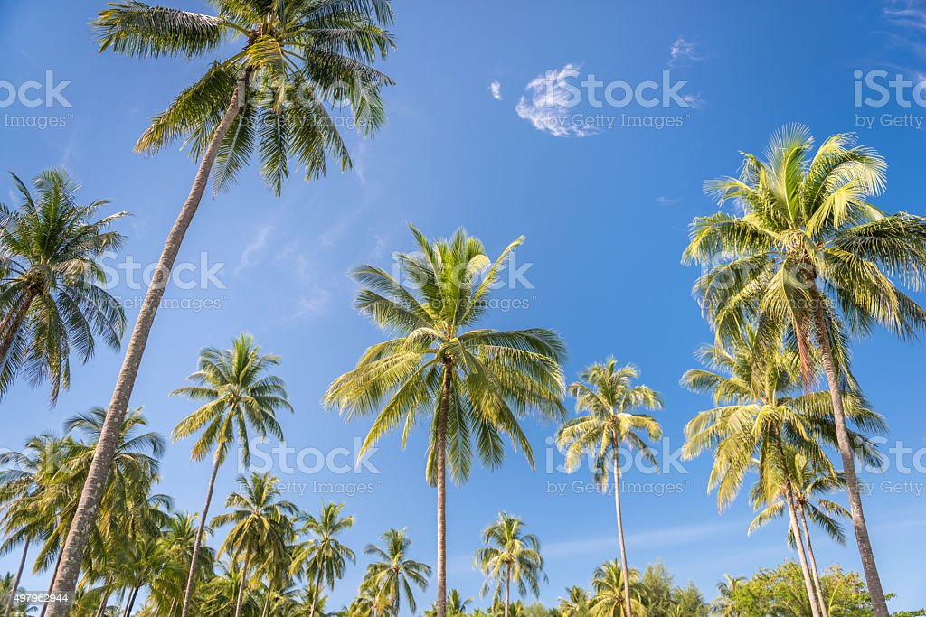 Perfect Palm Tree Background against a Tropical Blue Sky stock photo
