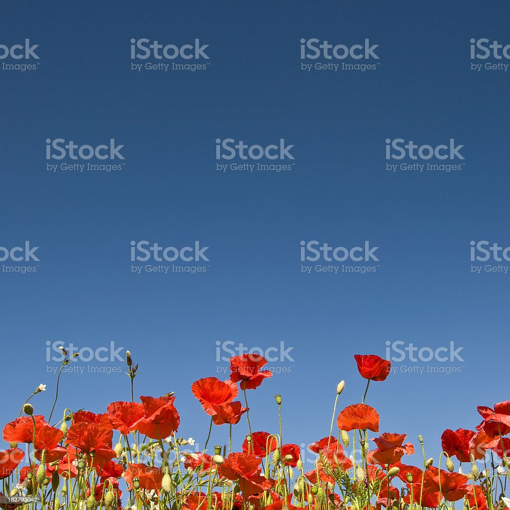 Perfect Poppies stock photo