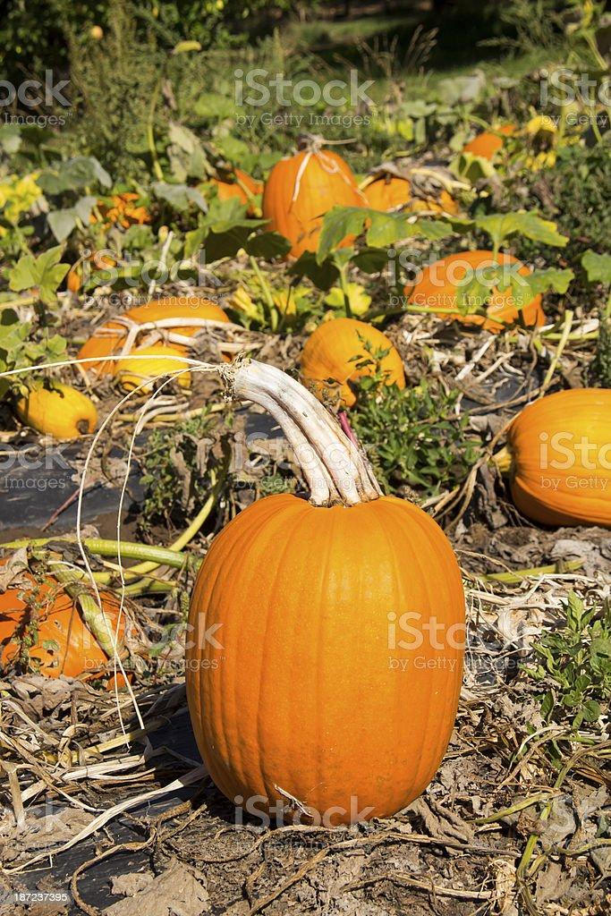 Perfect Pumpkin stock photo