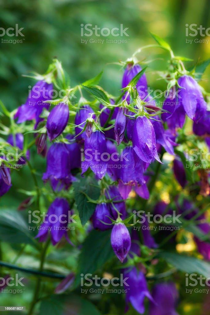 Perfect purple flowers royalty-free stock photo