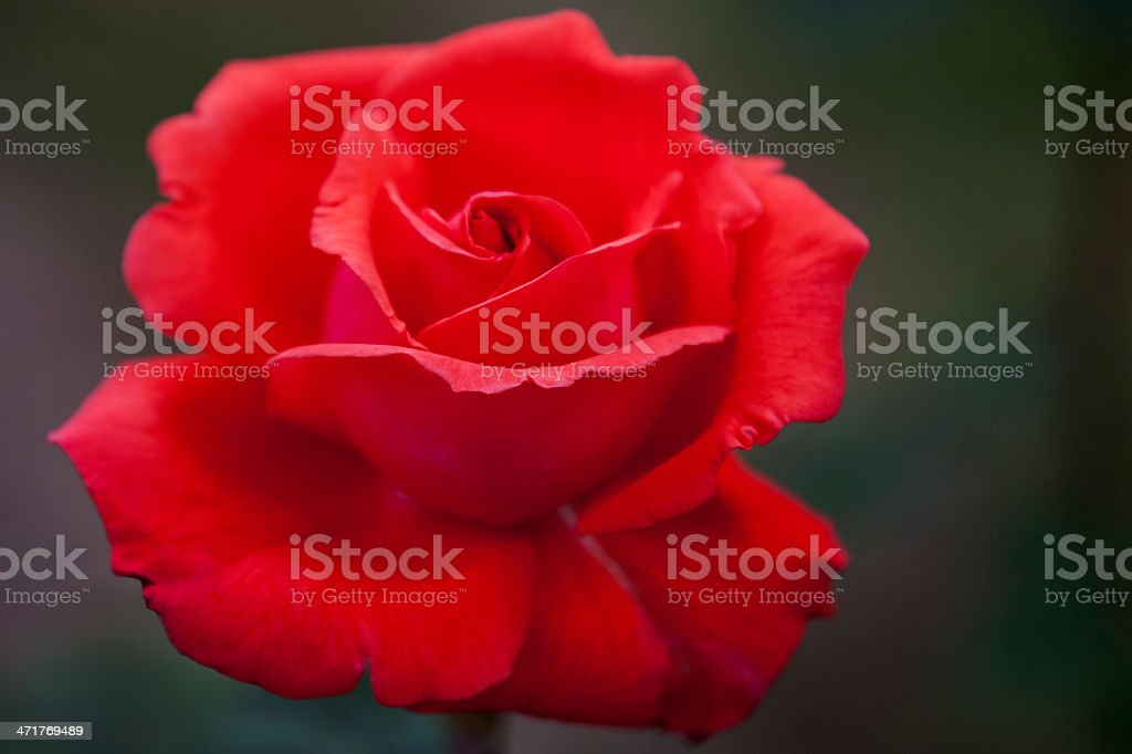 Perfect red rose royalty-free stock photo