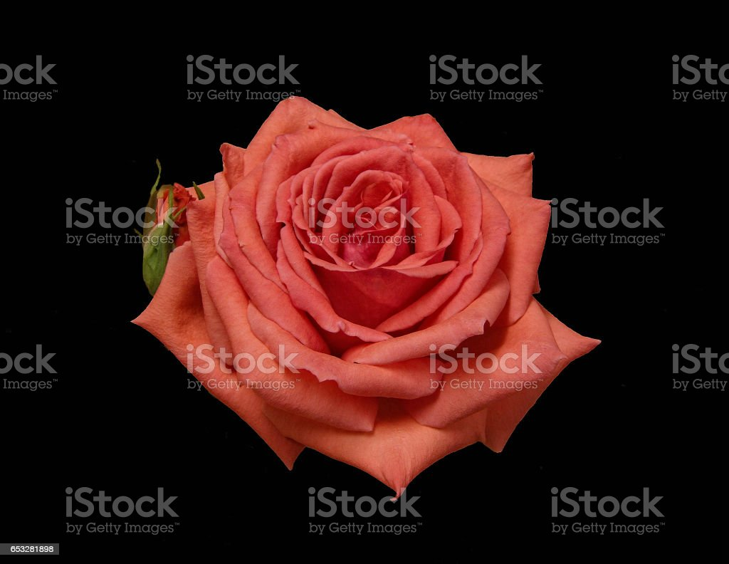A perfect rose on a black background. stock photo