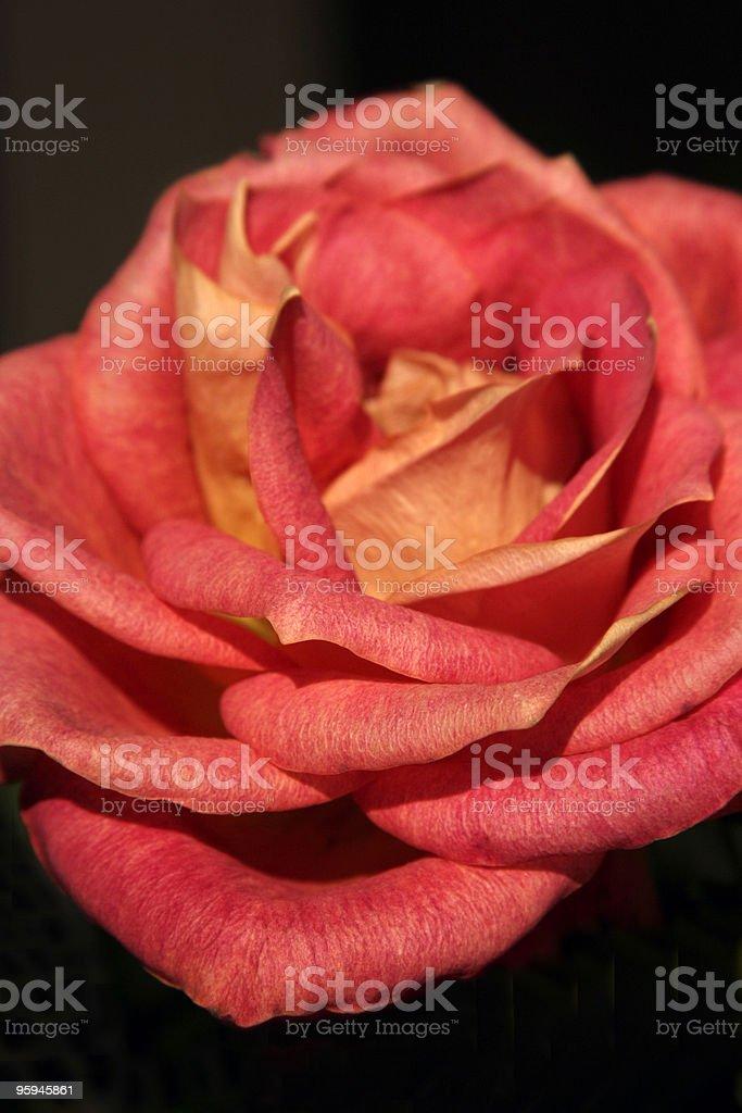 Rosé parfait photo libre de droits