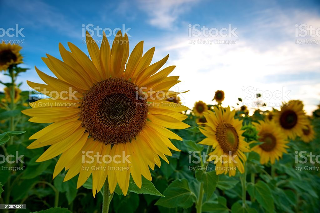 Perfect Sunflower in Tuscany, Italy stock photo