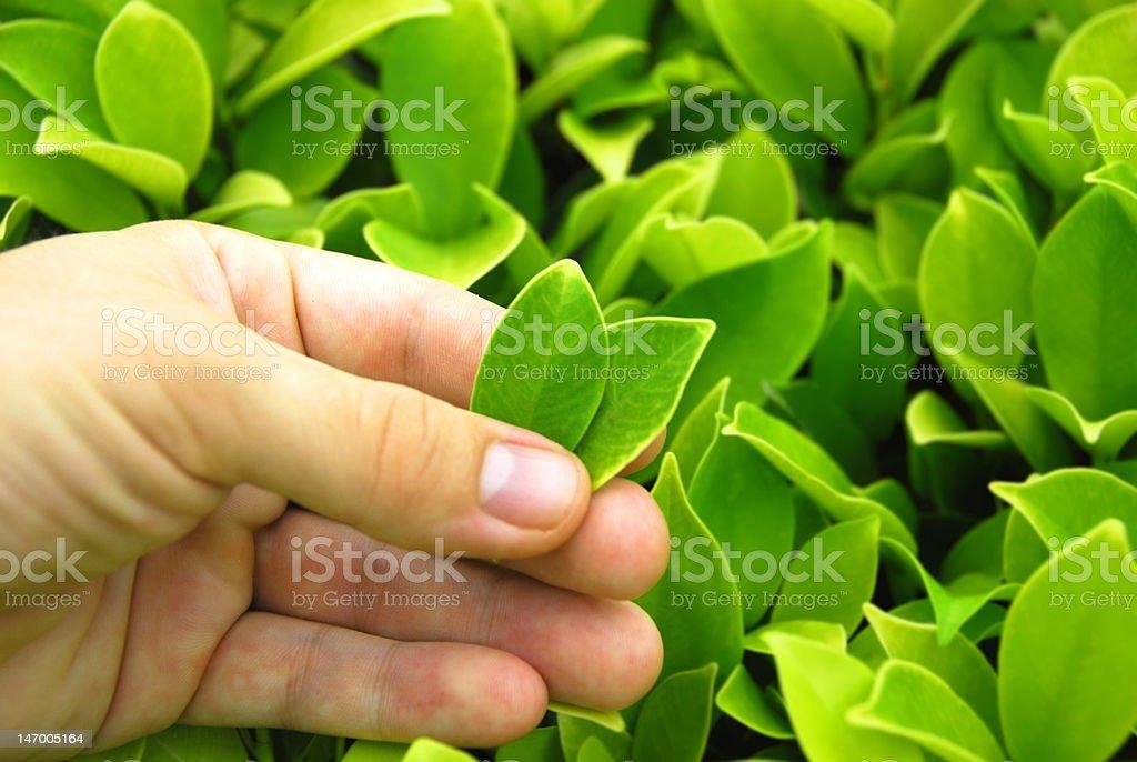 Perfect Tea Leaves stock photo