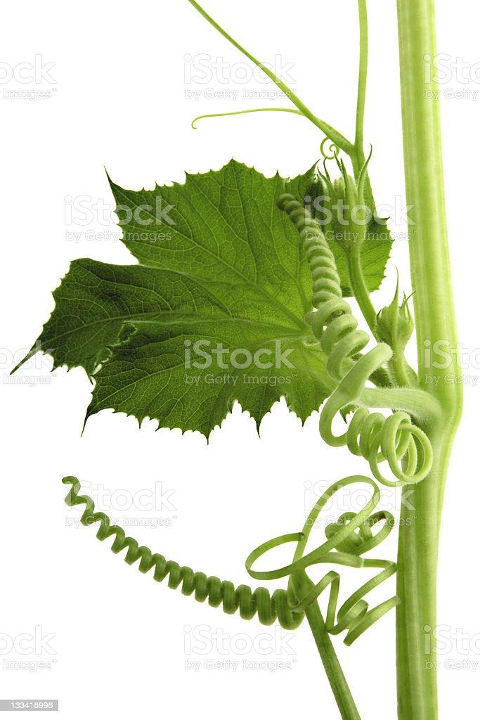 perfect vine royalty-free stock photo