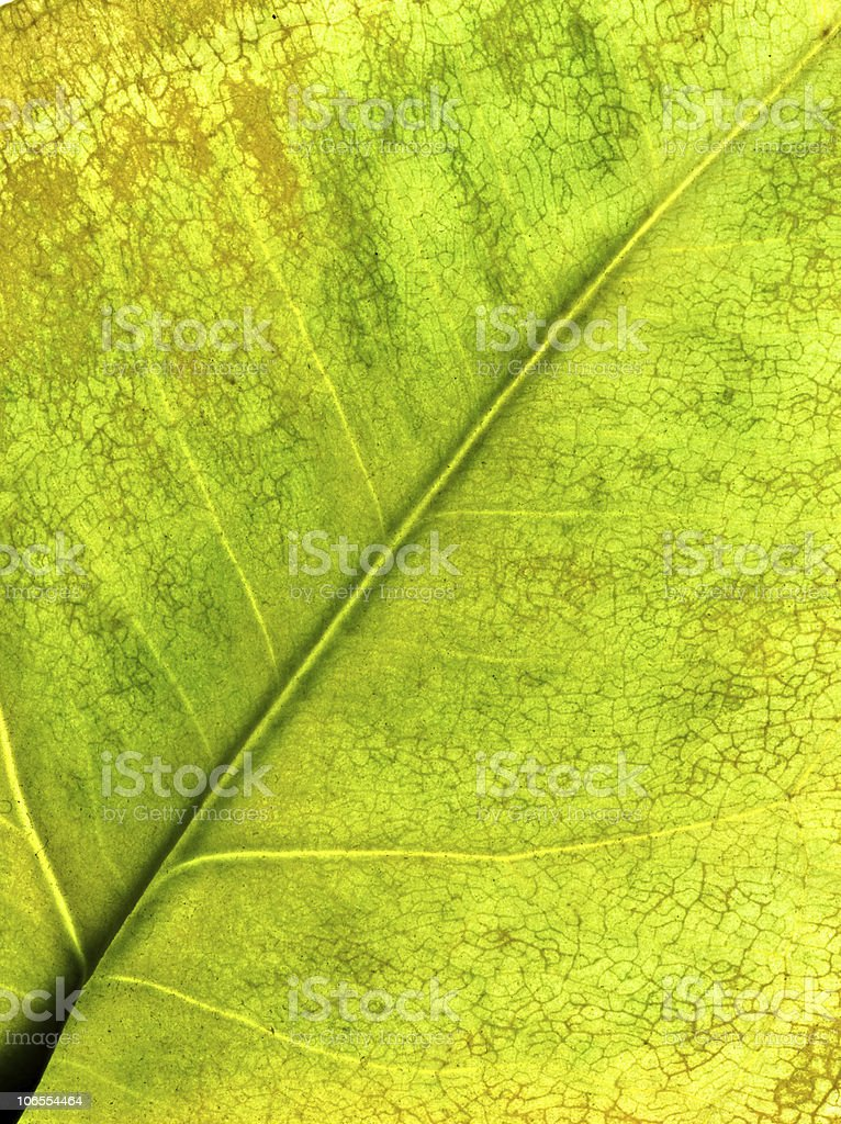 Perfect yellow-green autumnal leaf stock photo