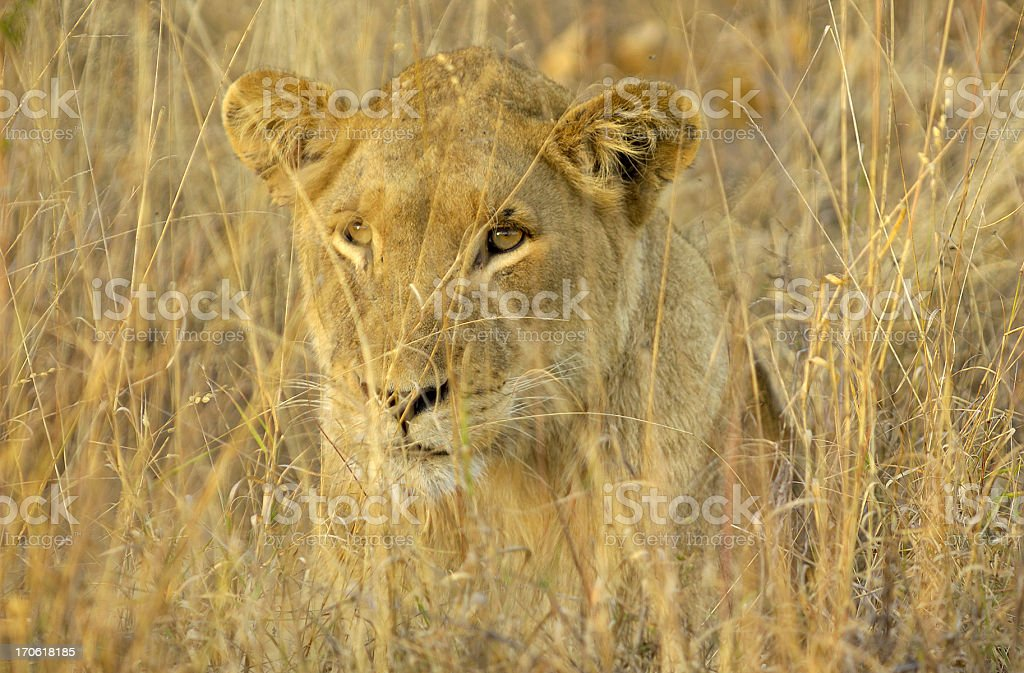 Perfectly camouflaged female lion stock photo
