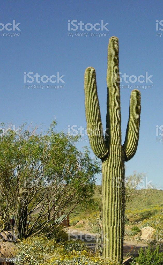 Perfectly Shaped Three Arm Desert Saguaro Cactus royalty-free stock photo