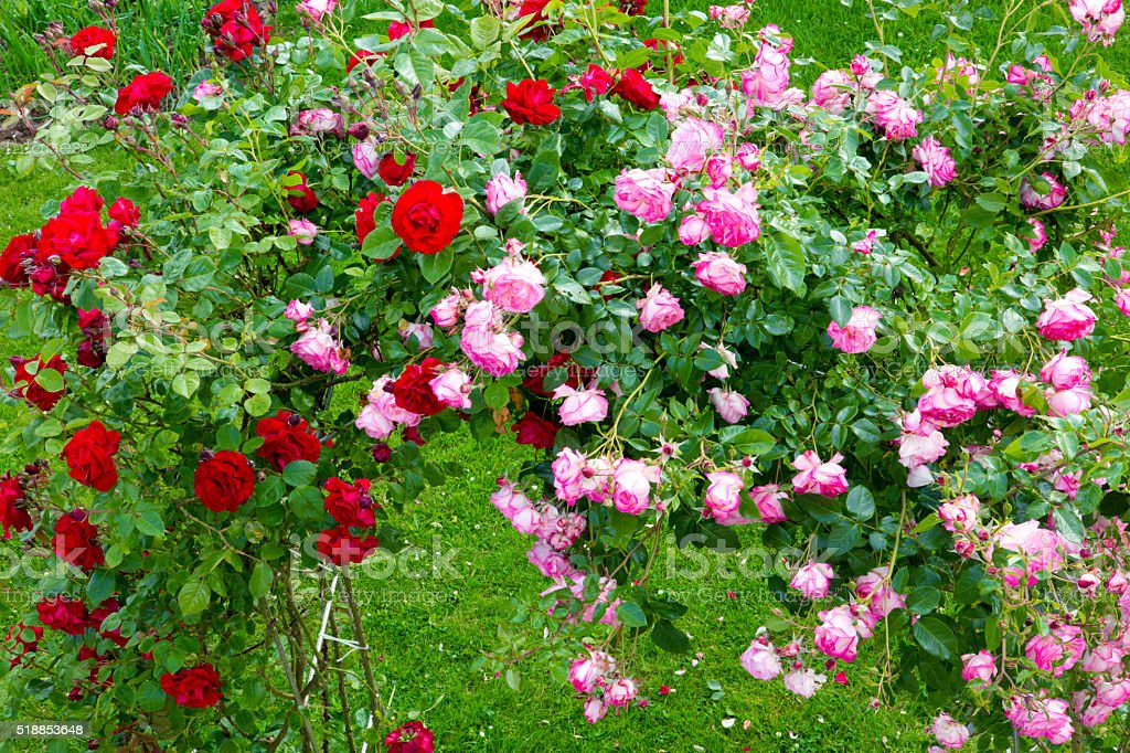 Pergola Covered in redand pink  Climbing Roses. stock photo