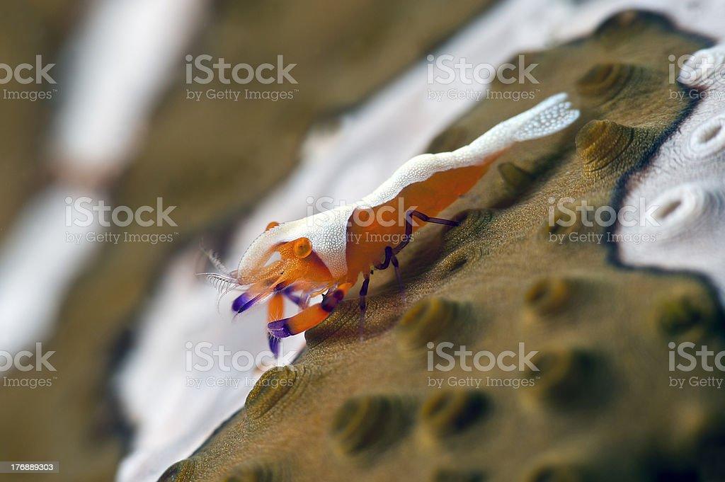 Periclimenes imperator shrimp on a sea cucumber stock photo