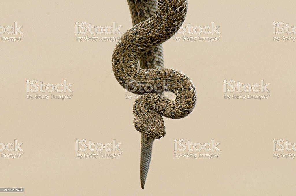 Peringuey's adder stock photo