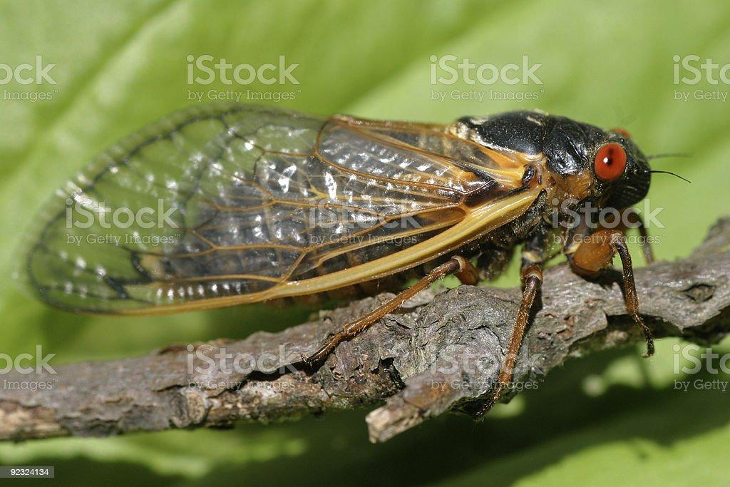 Periodical Cicada stock photo