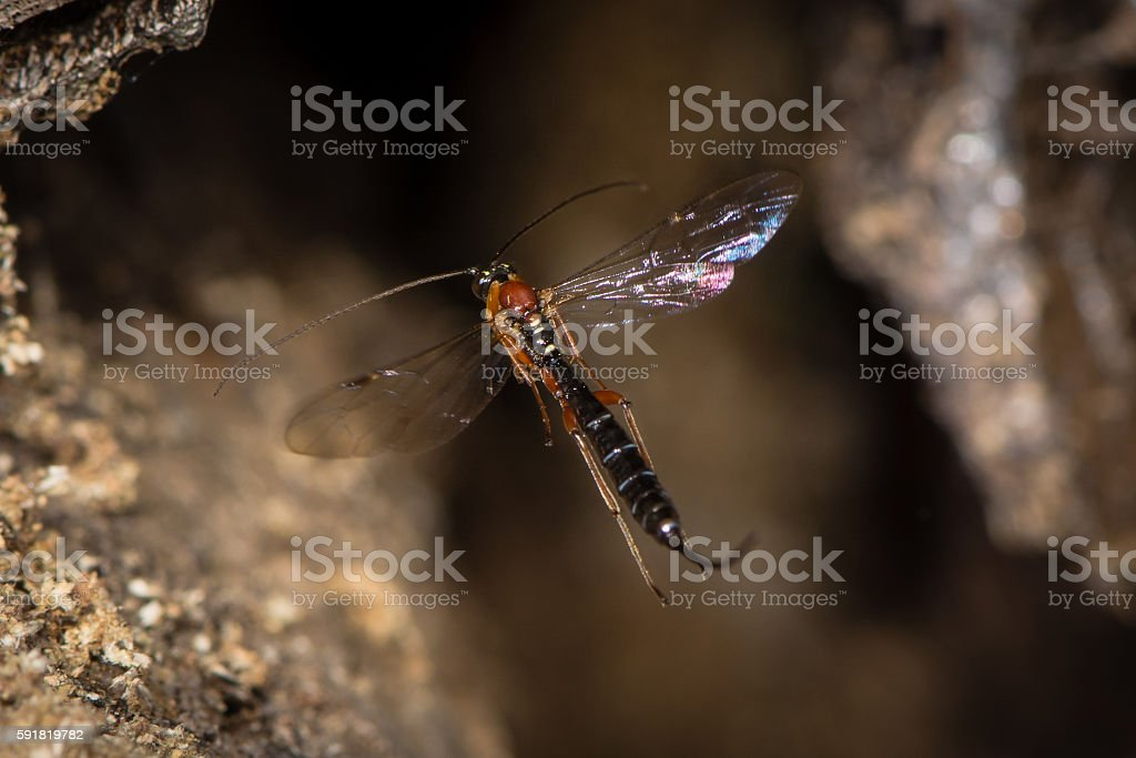 Perithous Ichneumon wasp with long ovipositor in flight stock photo
