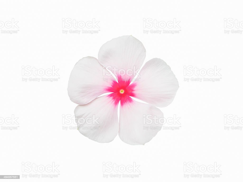 periwinkle flower isolated stock photo