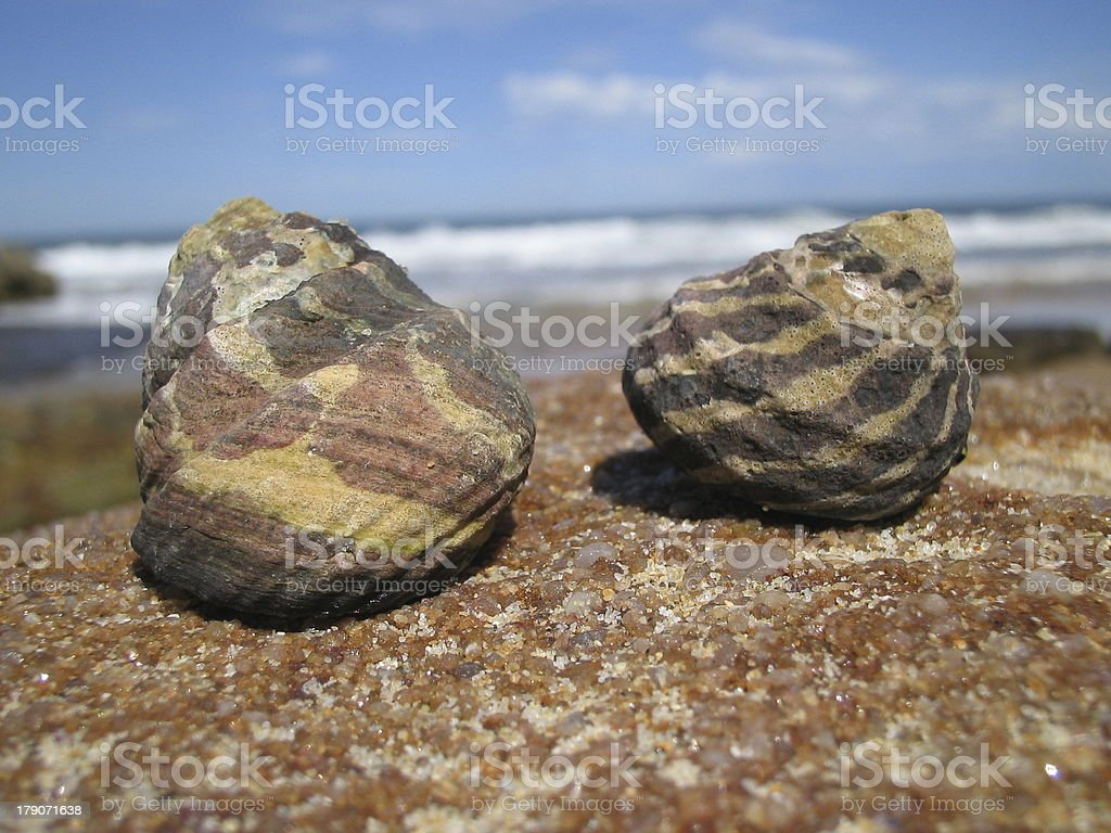 Periwinkles by the sea royalty-free stock photo