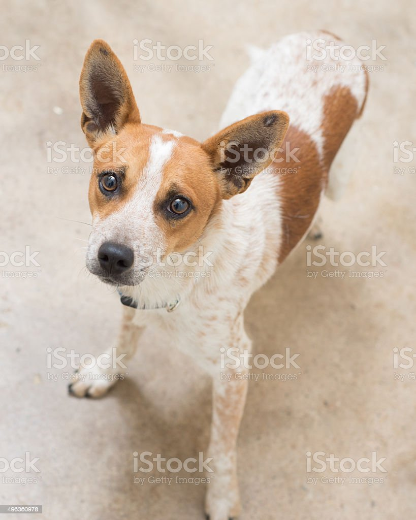 Perky heeler mix dog stock photo