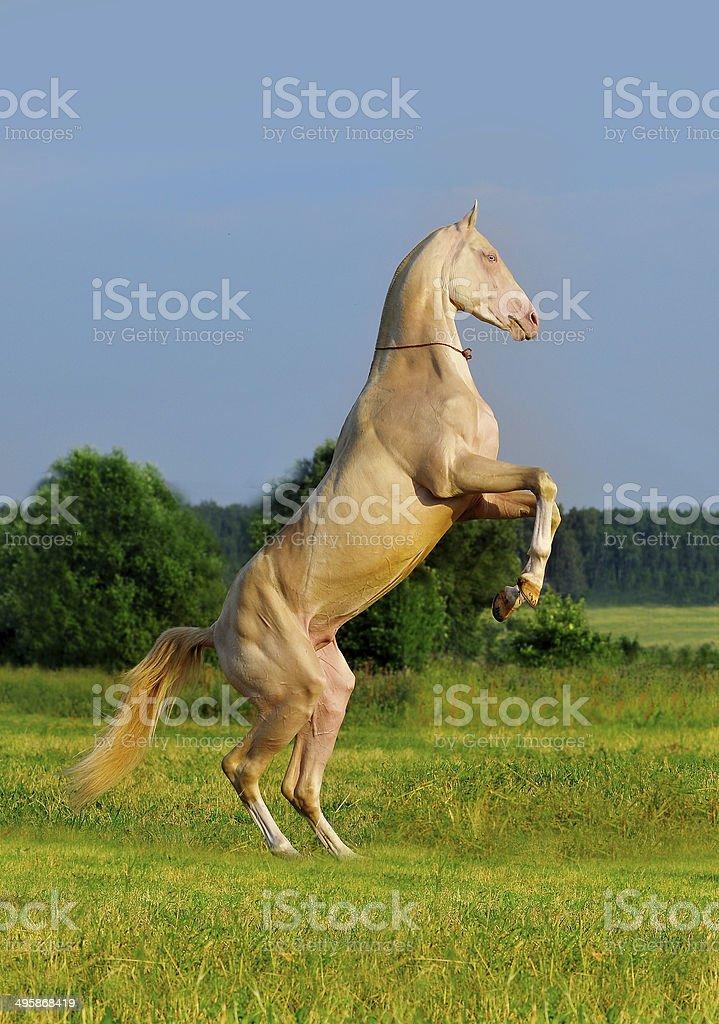 perlino akhal-teke horse rearing stock photo