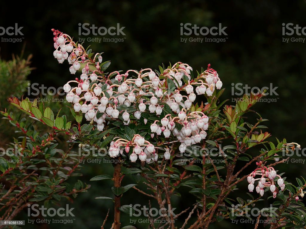 Pernettya coriacea is endemic for Poas Volcano. Costa Rica, Alajuela stock photo