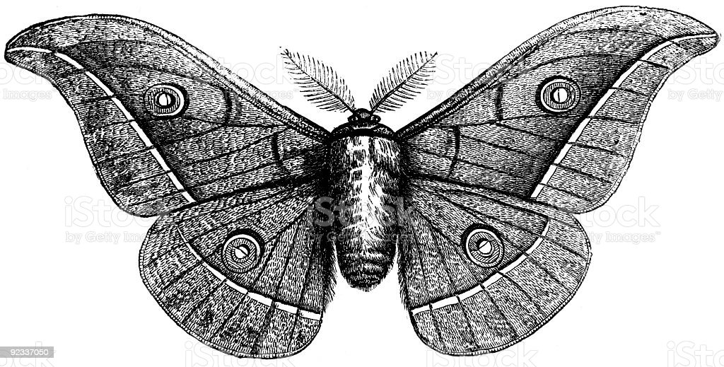 Pernyi moth stock photo
