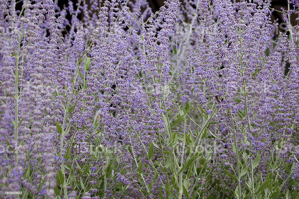 Perovskia atriplicifolium stock photo