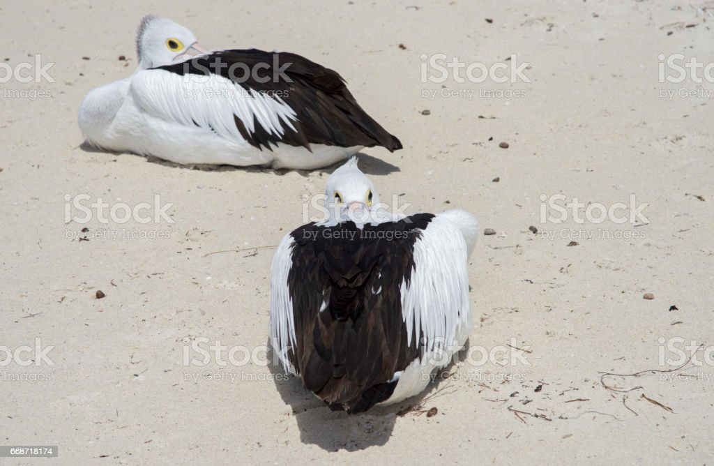 Perpendicular Pelicans stock photo