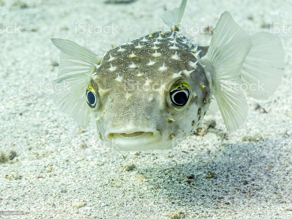 Perplexed Porcupine Fish stock photo