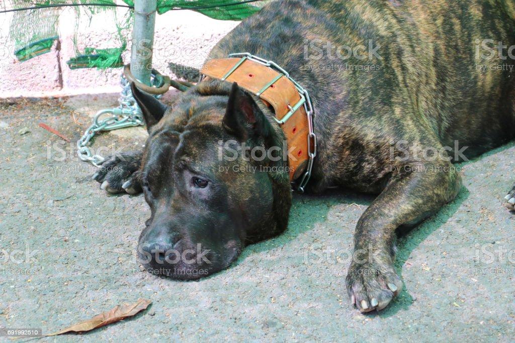 perro presa stock photo