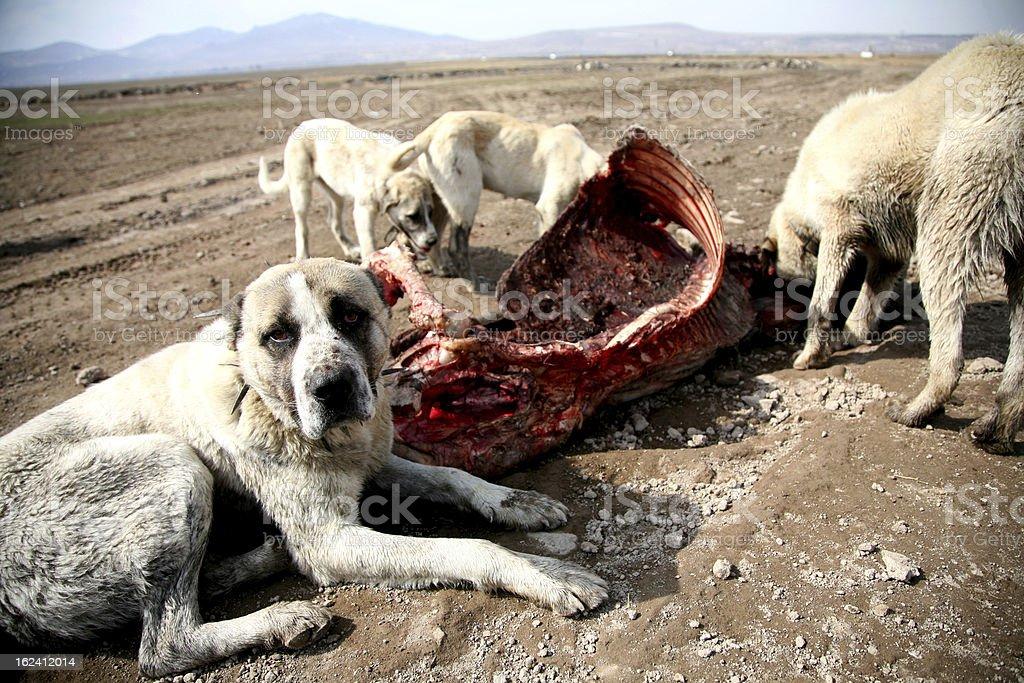 perro salvaje royalty-free stock photo
