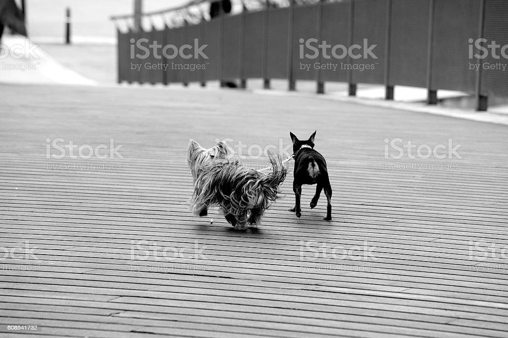 perros pequeños corriendo atados royalty-free stock photo