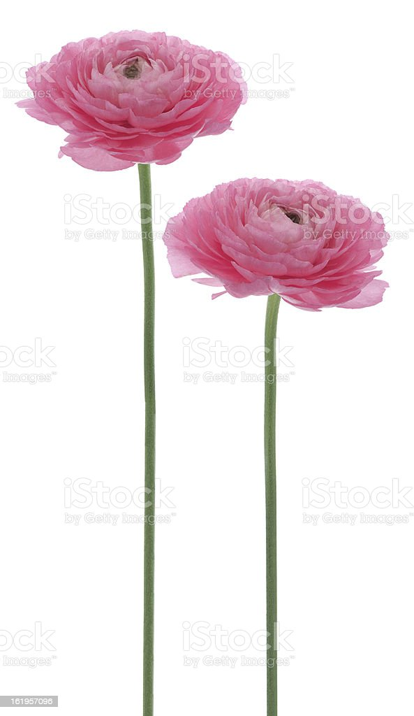 persian buttercup royalty-free stock photo