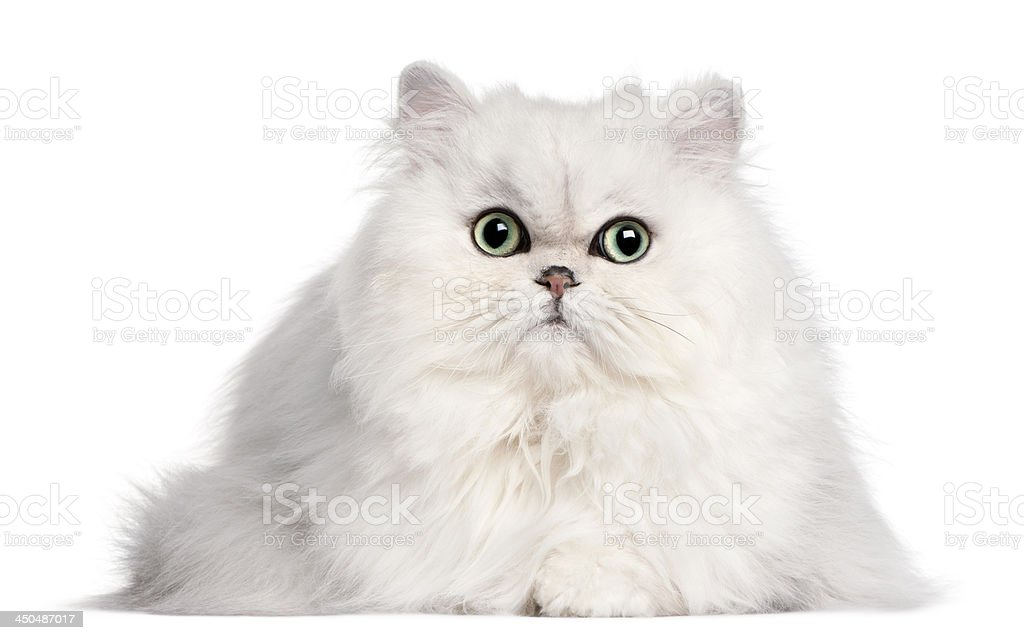 Persian cat, 2 years old, in front of white background stock photo