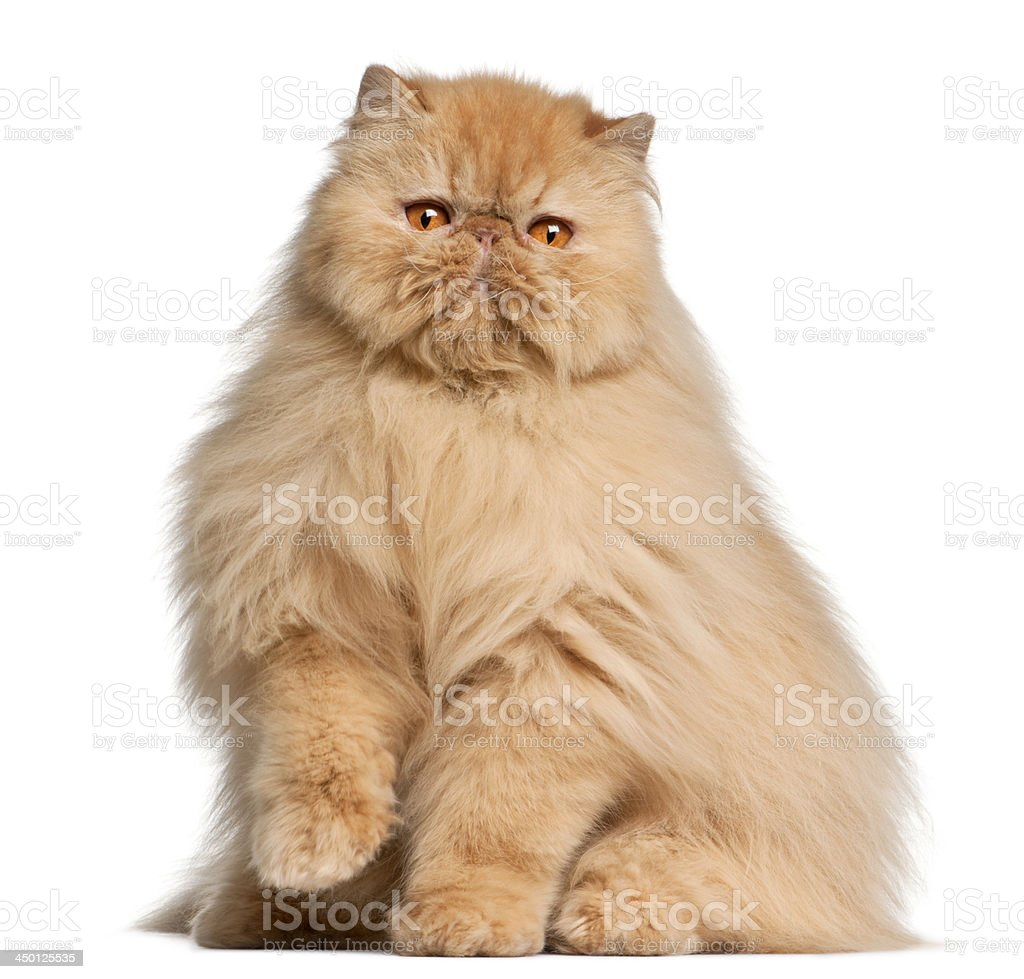 Persian cat, 3 years old, in front of white background stock photo