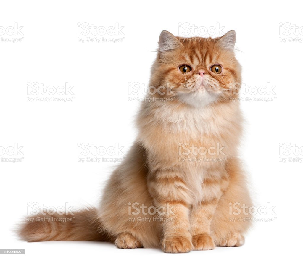 Persian cat, 5 months old, sitting stock photo