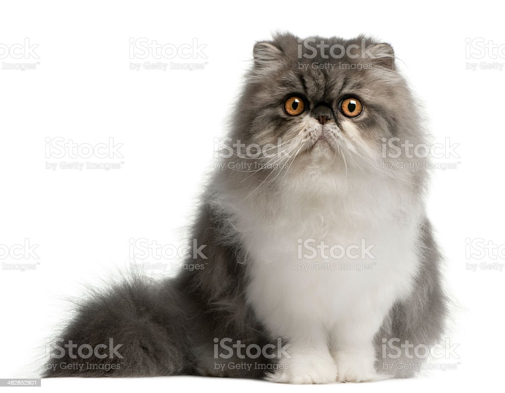 Persian cat, 6 months old, sitting, white background stock photo