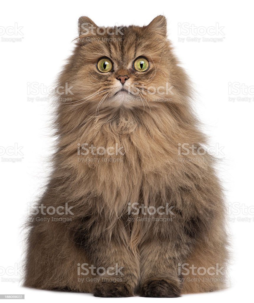 Persian cat, 6 years old, in front of white background stock photo