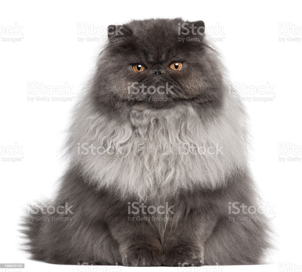 Persian cat, 8 months old, sitting in front stock photo