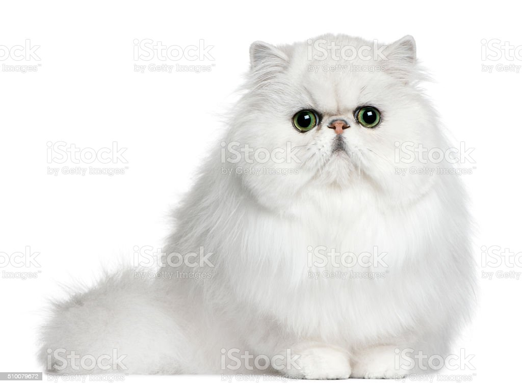 Persian cat, 8 months old, sitting stock photo