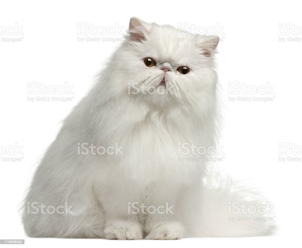 Persian cat, 8 months old, sitting, white background. stock photo