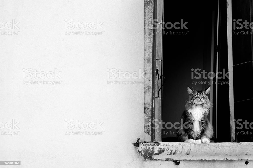 Persian cat in a window stock photo