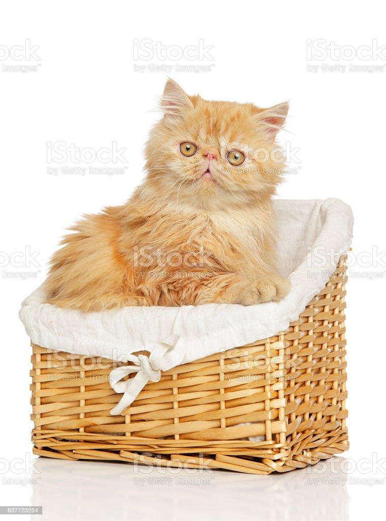 Persian cat in basket stock photo