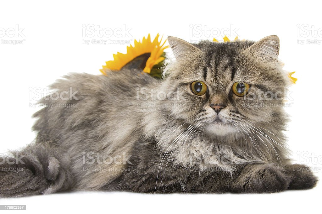 Persian cat lying with sunflowers royalty-free stock photo