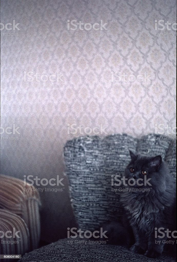 Persian cat on lounge chair stock photo