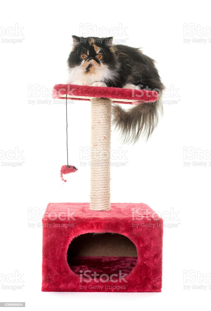 persian cat on scratching post stock photo