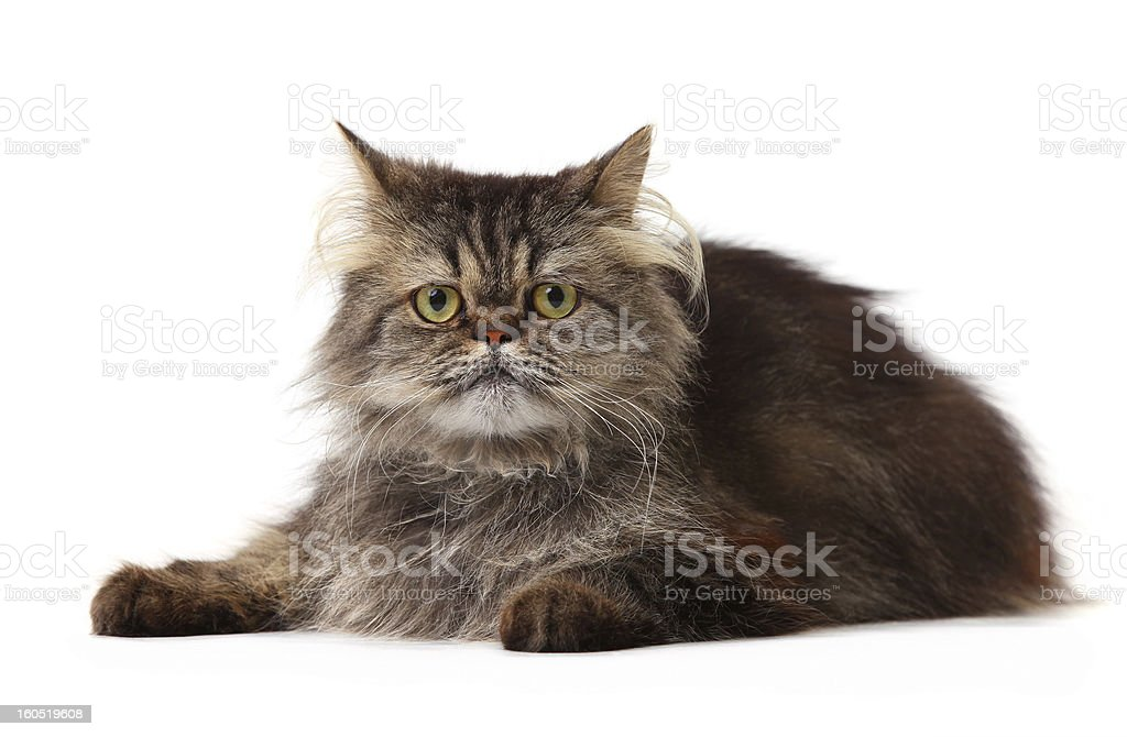 Persian cat over white royalty-free stock photo