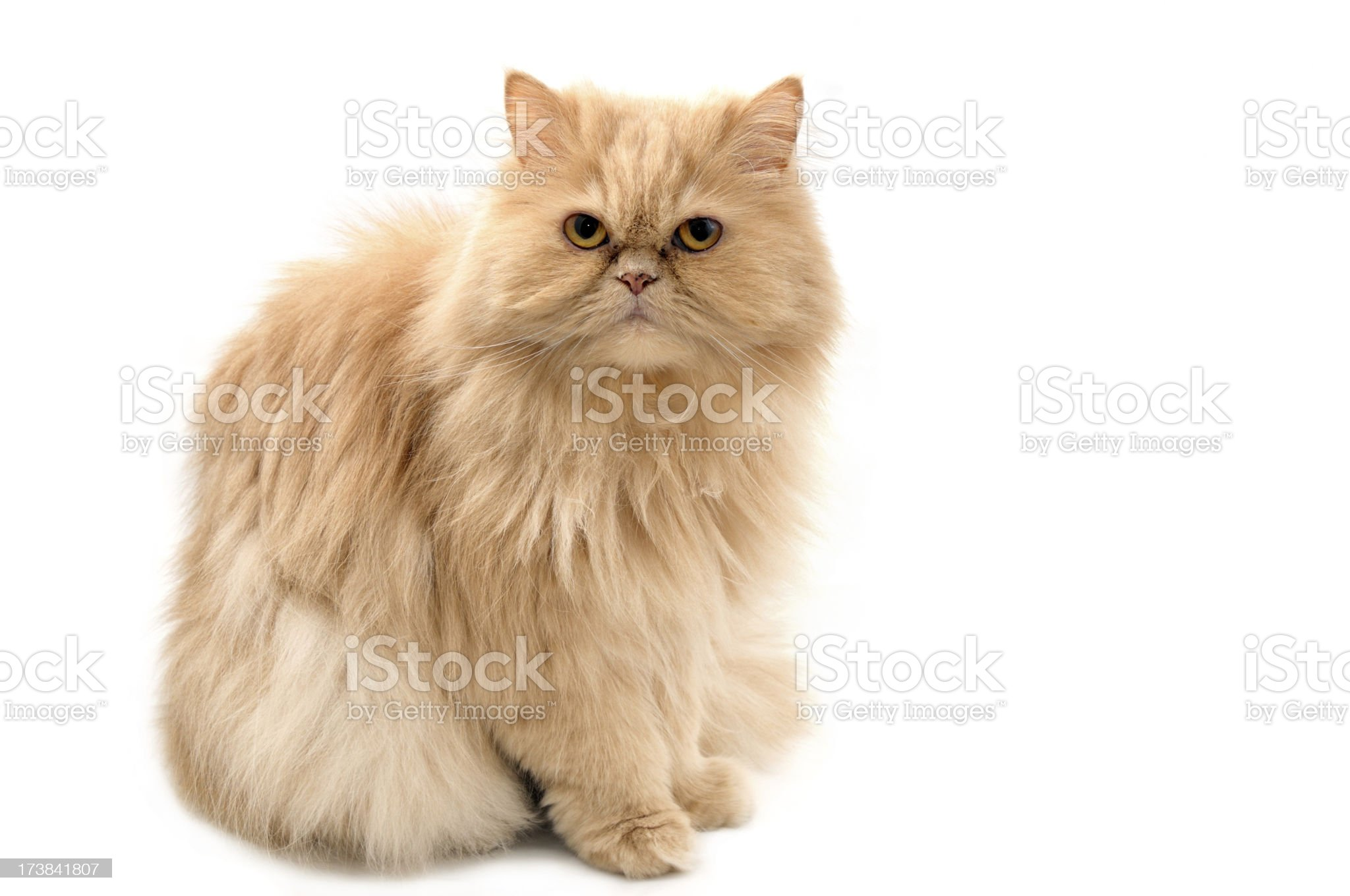 Persian cat royalty-free stock photo