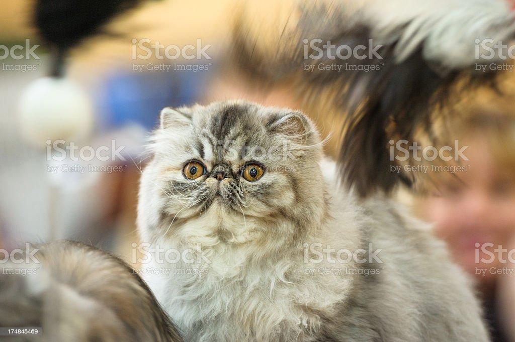 Persian cat royalty-free stock photo