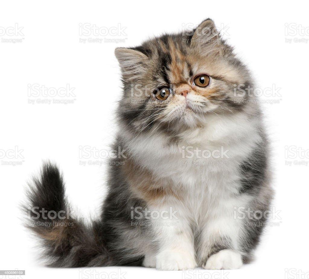 Persian cat, stock photo