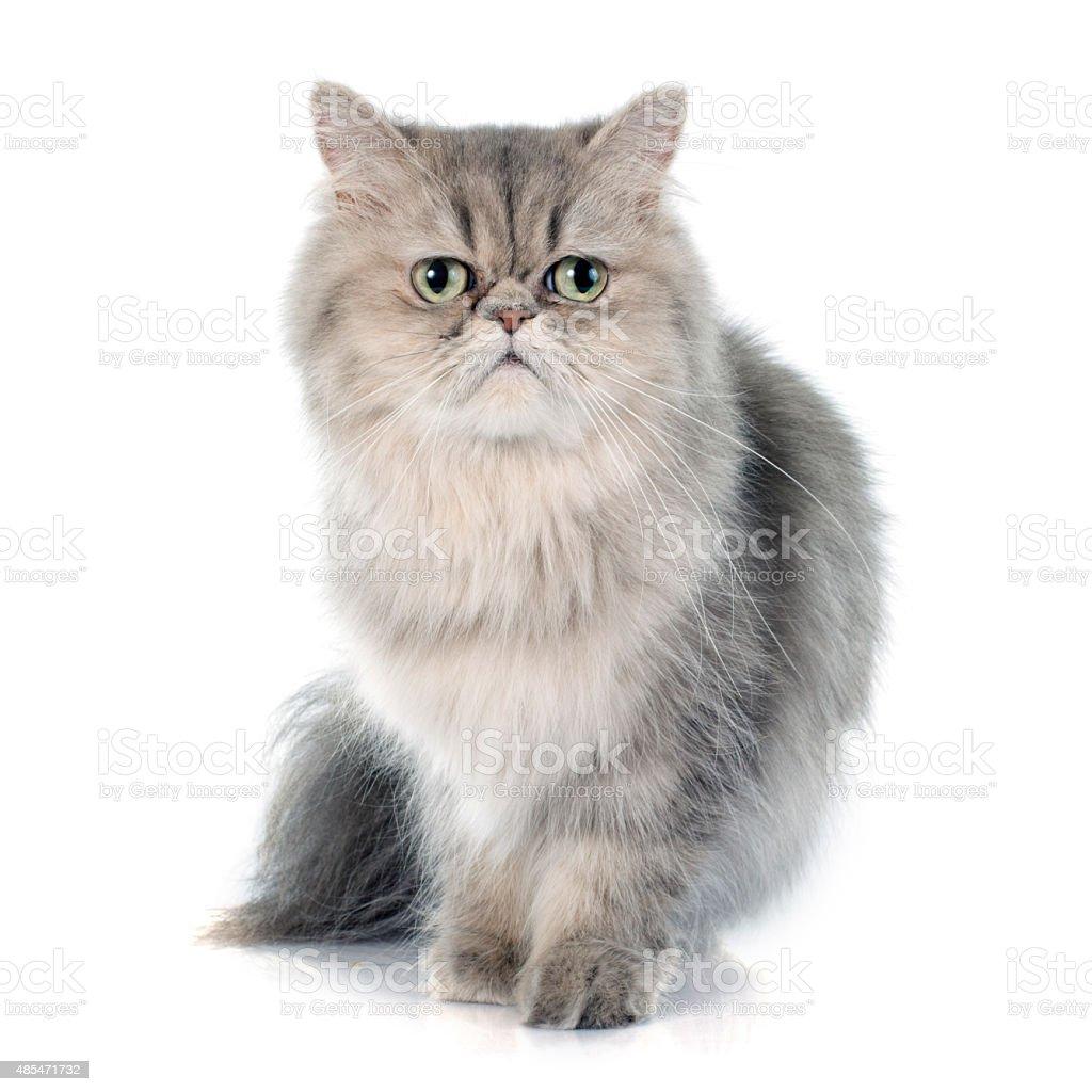 persian cat stock photo